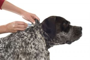 how to get rid of fleas treatment dog